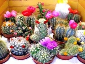 Разные формы кактусов