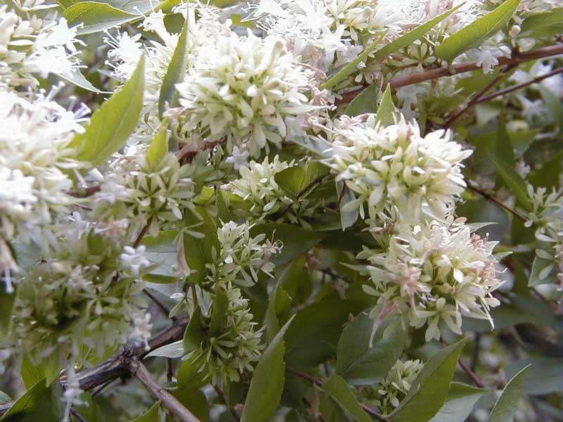Abelia chinensis / абелия китайская