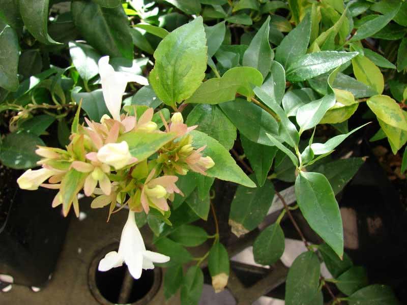 Abelia grandiflora / абелия крупноцветковая