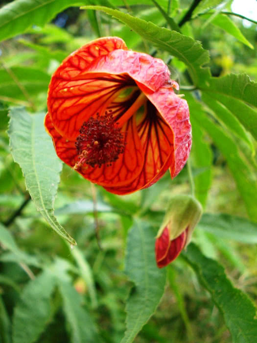 Abutilon striatum / Абутілон строкатий (смугастий)