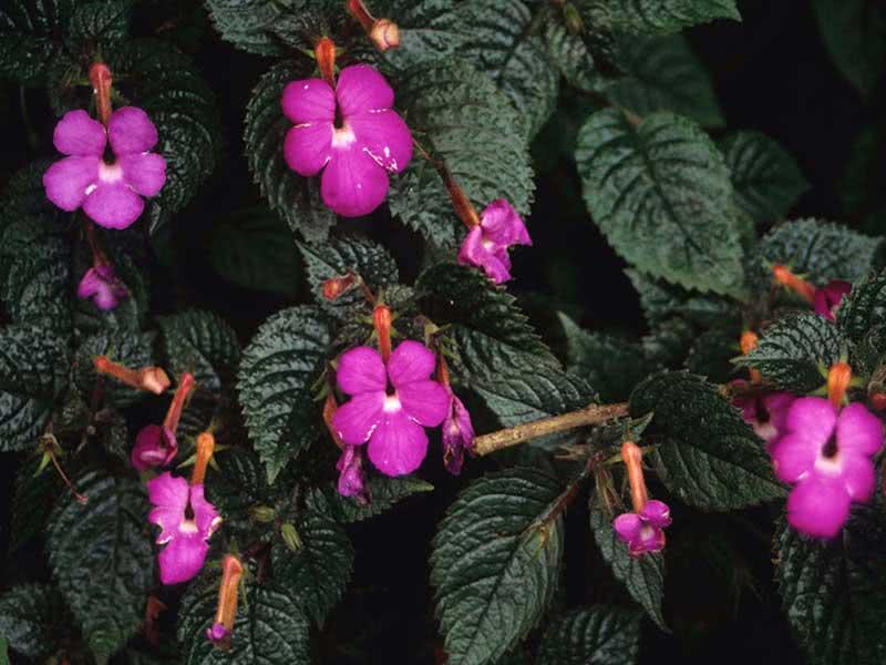 Achimenes grandiflora / ахіменес великоквітковий