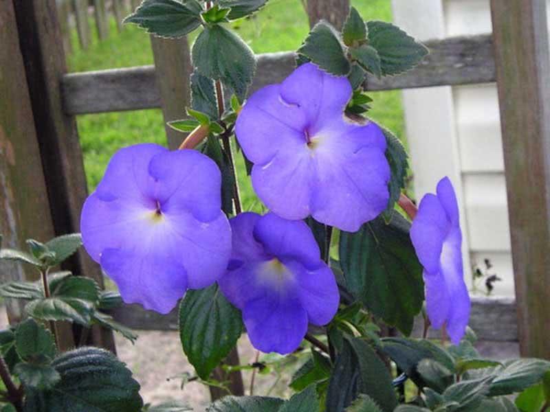 Achimenes longiflora / ахіменес довгоквітковий