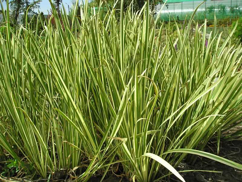Acorus calamus / аїр болотний (звичайний)