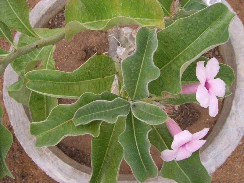 Adenium boehmianum / аденіум боехміанум