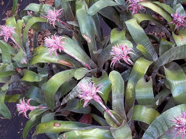 Aechmea fasciata / эхмея полосатая