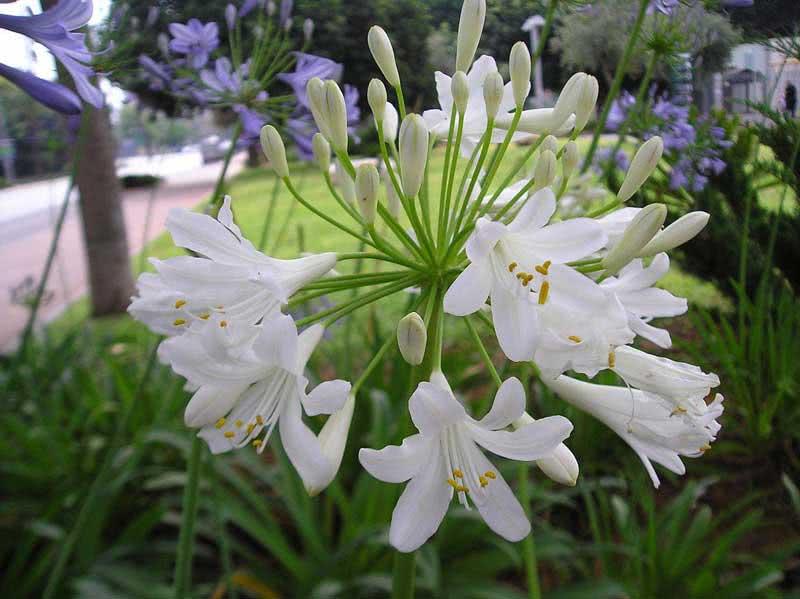 Agapanthus umbellatus / агапантус парасольковий