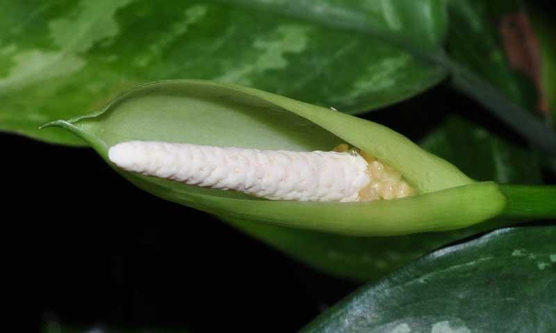 Aglaonema marantifolium / аглаонема продолговатолистная