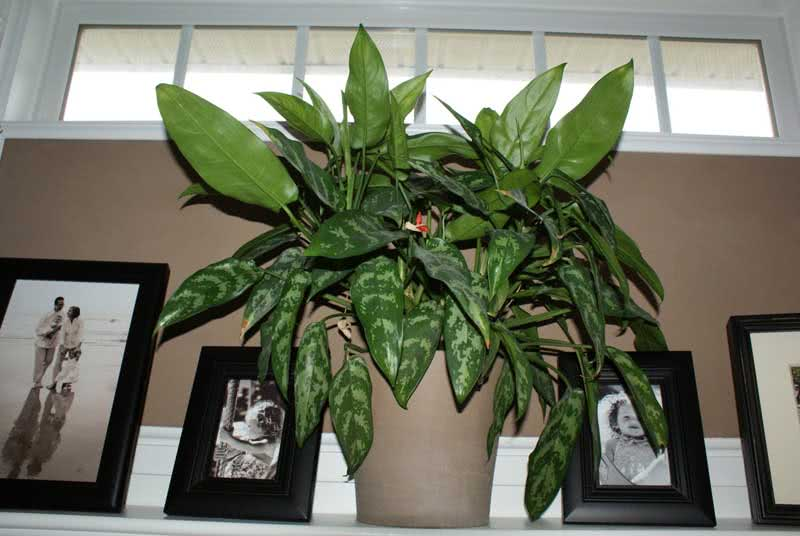 Aglaonema modestum / аглаонема скромная