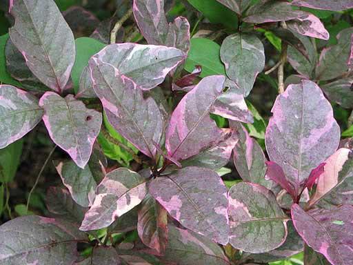 Aglaonema pictum / аглаонема расписная