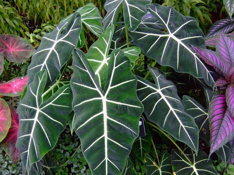 Alocasia amazonica / алоказия амазонская