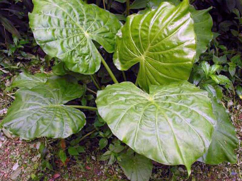 Alocasia indica / алоказия индийская