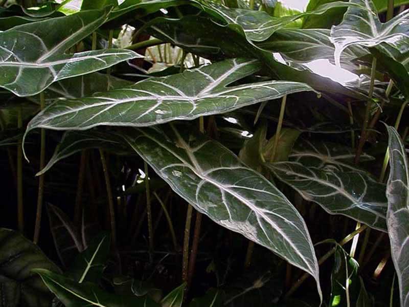 Alocasia lowii / алоказия Лоу