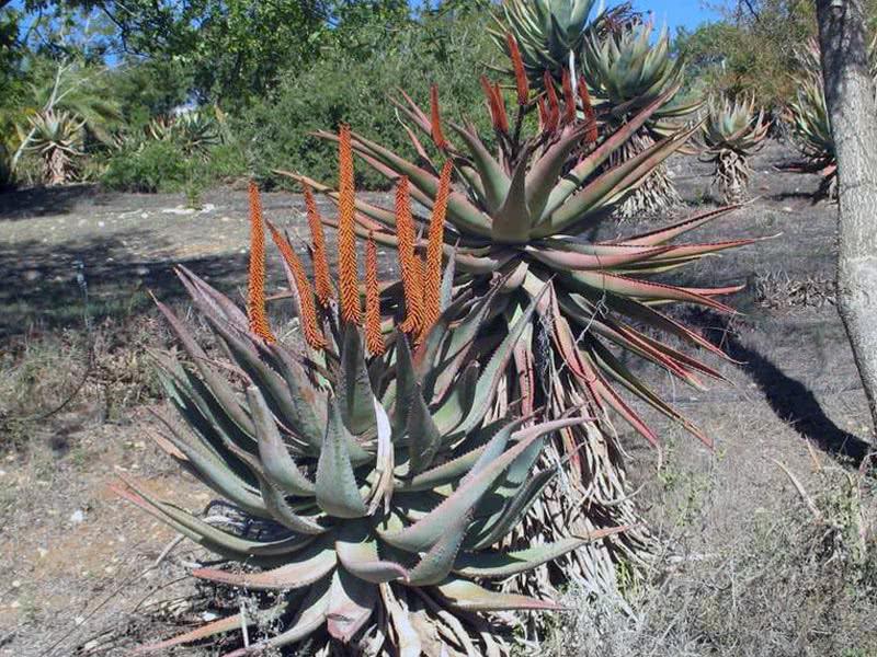 Aloe ferox / алое страшне
