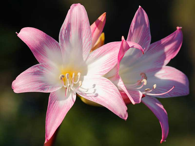 Amaryllis belladonna / амариліс беладонна (прекрасний)