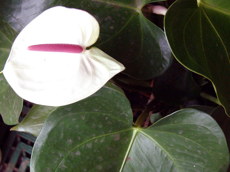 Anthurium andraeanum / антуріум Андре