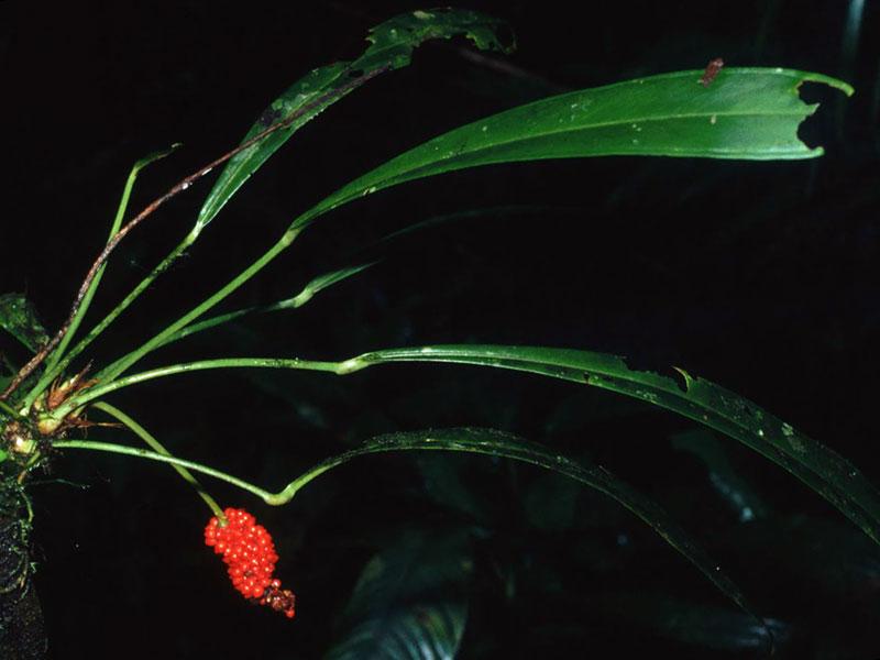 Anthurium bakeri / антуріум Бейкера