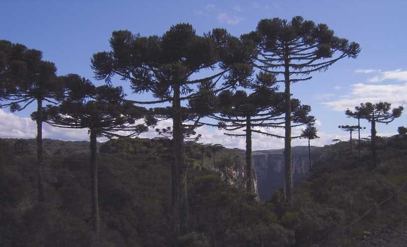 Araucaria angustifolia / араукарія вузьколиста (бразильська)