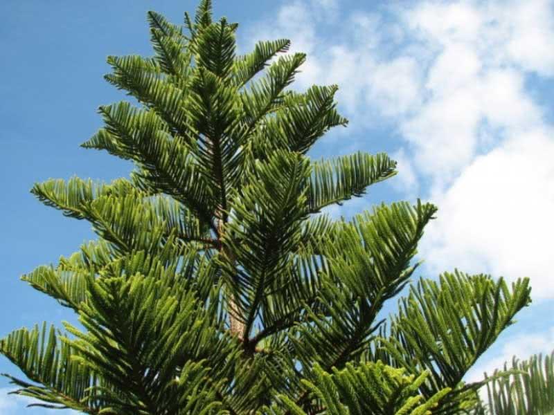 Araucaria columnaris / араукарія Кука