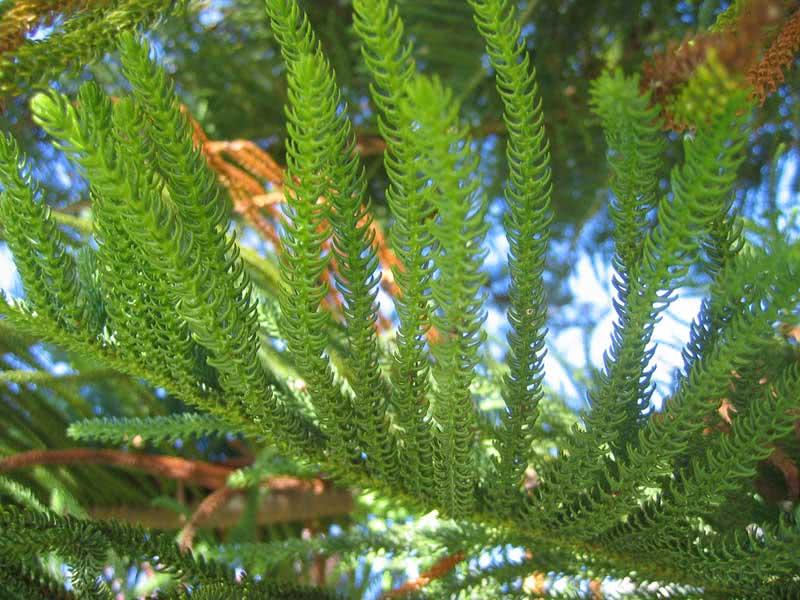 Araucaria heterophylla / араукарія різнолиста (Кімнатна Ялина)