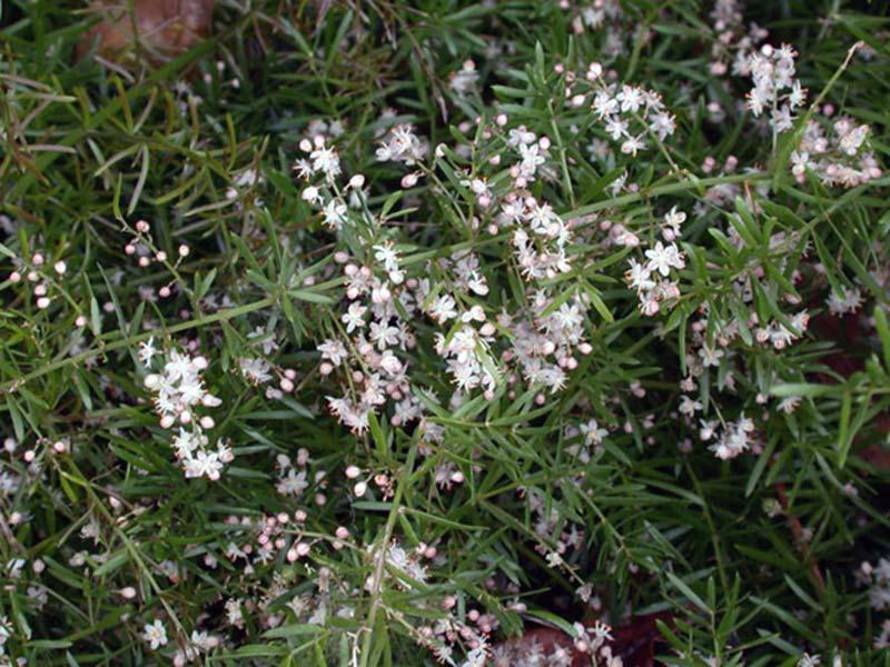 Asparagus aethiopicus / аспарагус эфиопский