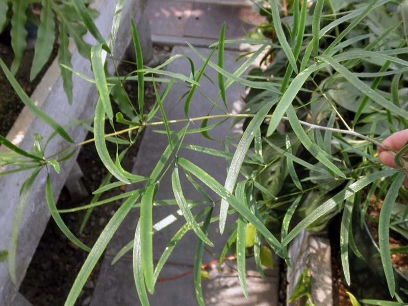 Asparagus falcatus / аспарагус серповидный