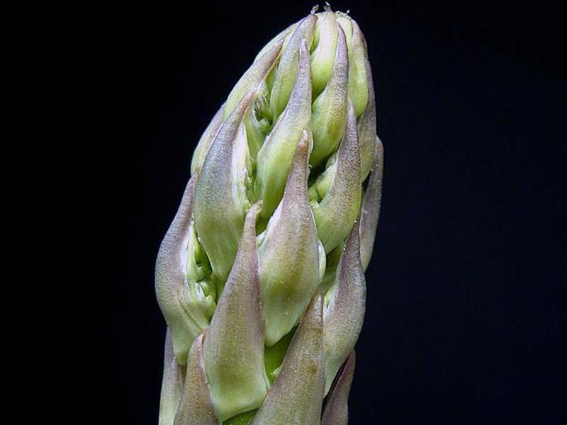 Asparagus officinalis / аспарагус обыкновенный