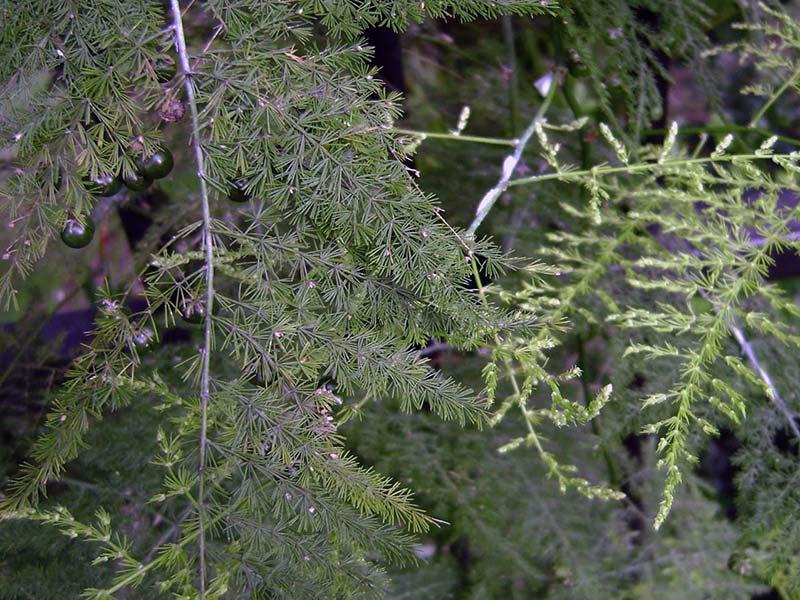 Asparagus plumosus / аспарагус перистый