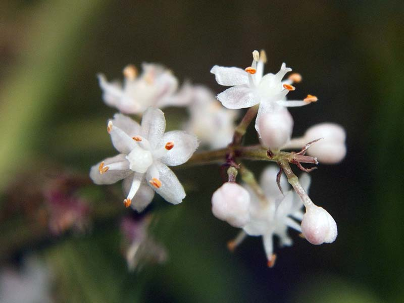 Asparagus racemosus / аспарагус кистевидный