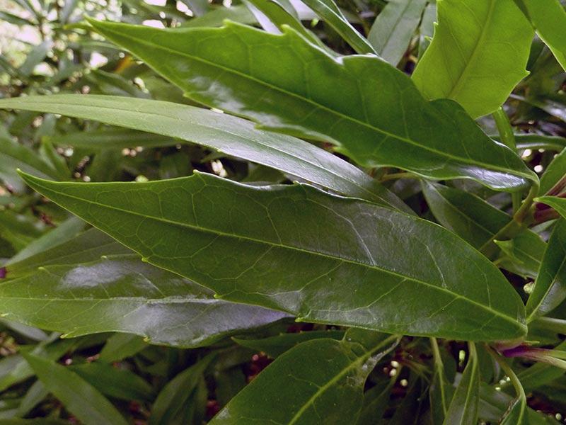 Aucuba japonica / аукуба японская