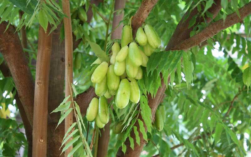 Averrhoa bilimbi / аверройя білімбі (Огіркове дерево)
