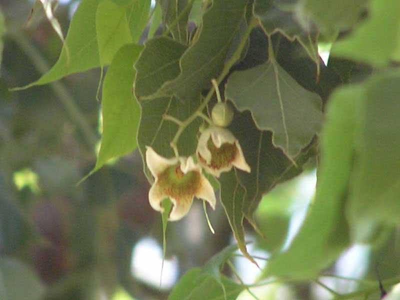 Brachychiton populneus / брахихитон разнолистный