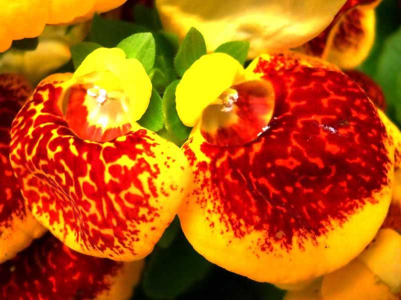Calceolaria herbeohybrida / кальцеолярия гибридная
