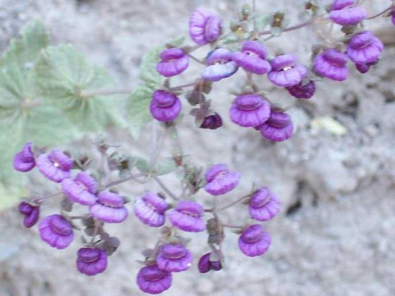 Calceolaria purpurea / кальцеолярия пурпурная
