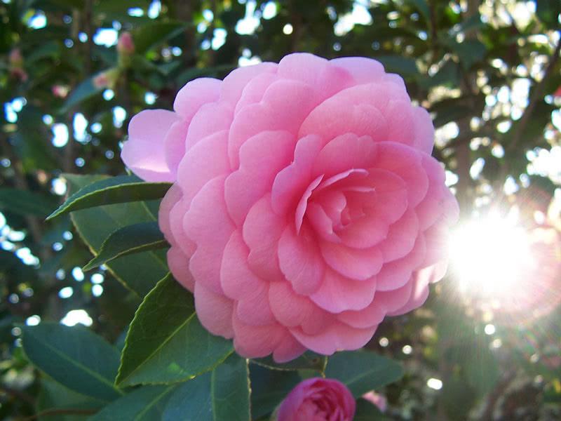 Camellia japonica / камелія японська