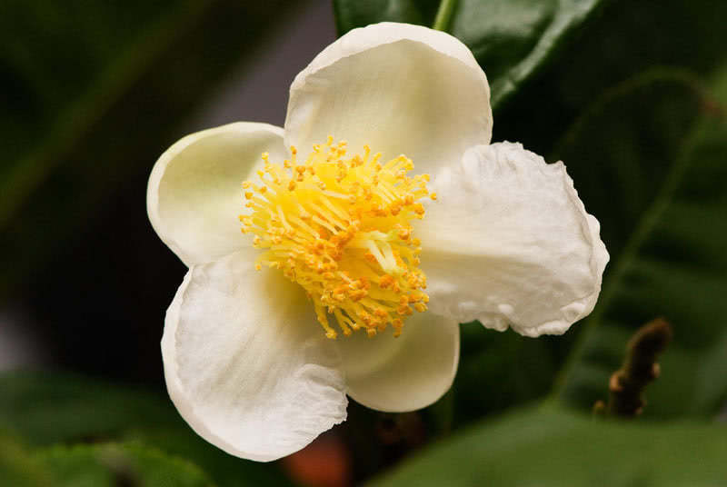 Camellia sinensis (bohea) / камелія китайська (бохея)