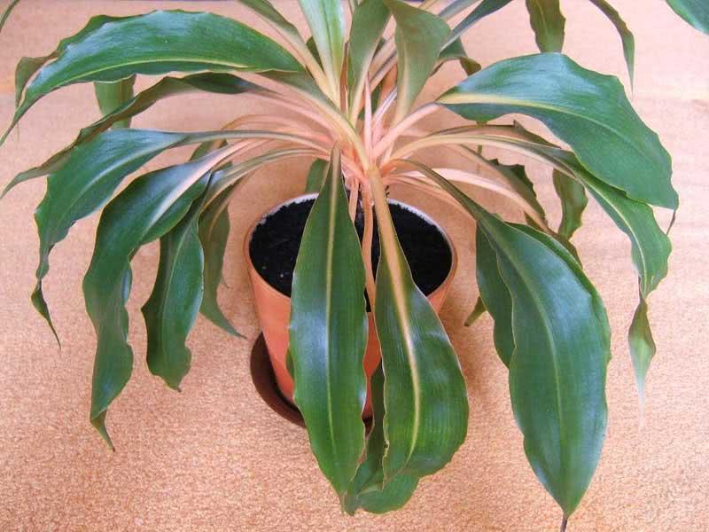 Chlorophytum amaniense / Хлорофітум крилатий