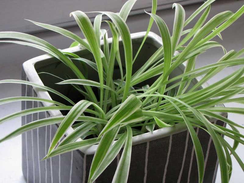 Chlorophytum capense / Хлорофітум капський
