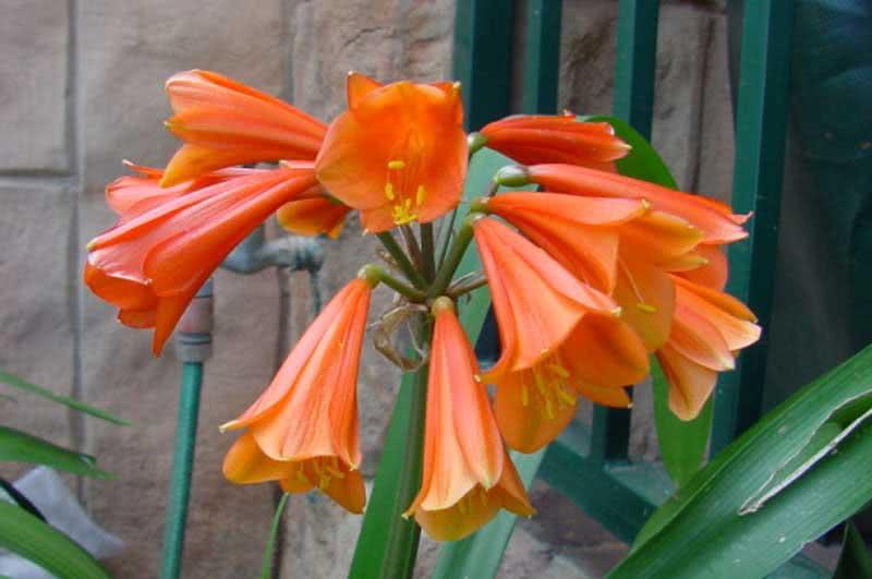 Clivia gardenii / кливия Гардена