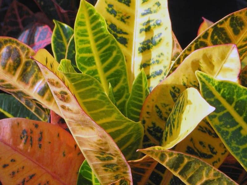 Codiaeum variegatum / кротон пестрый, вариегатный (кодиеум пёстрый)