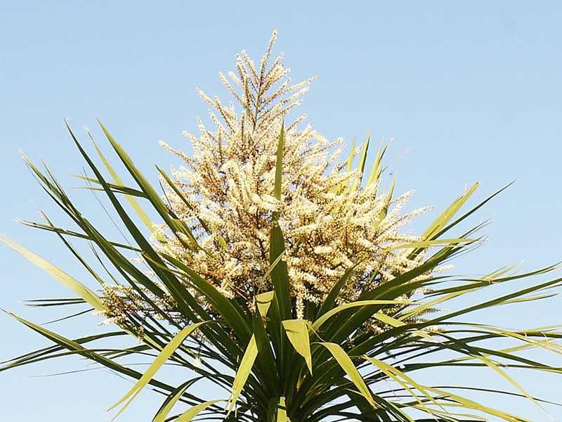 Cordyline australis / кордиліна південна