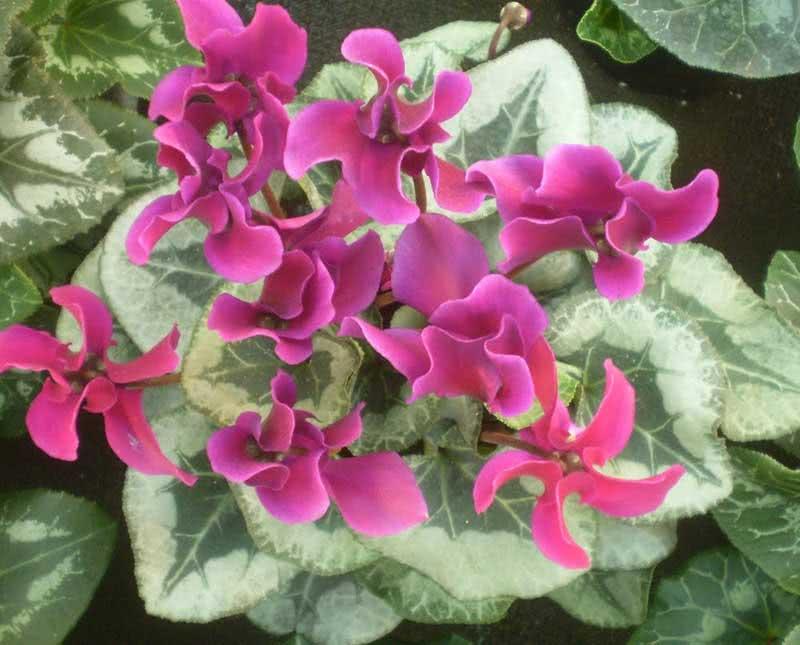 Cyclamen persicum / Цикламен персидський