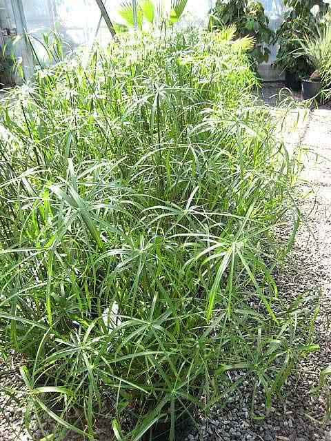 Cyperus alternifolius / циперус парасольковий