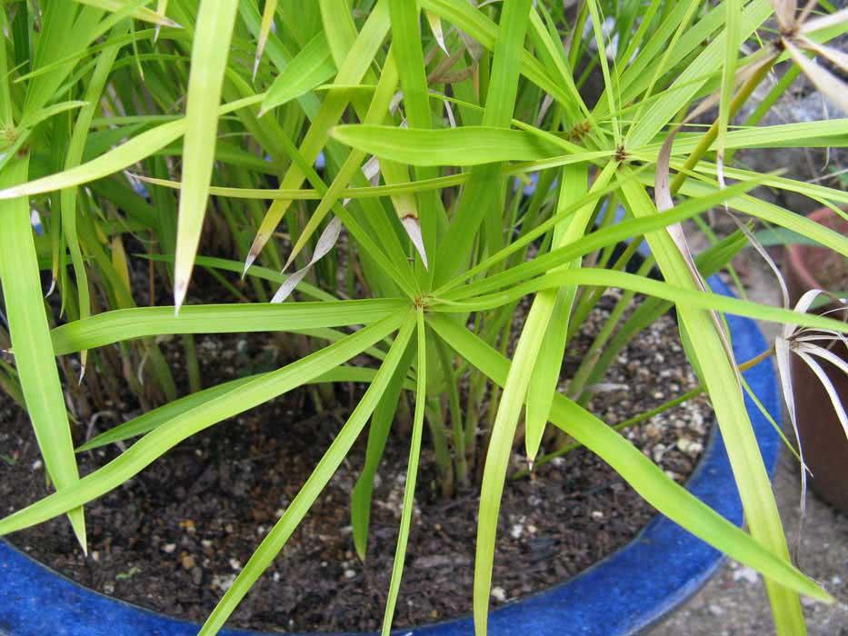 Cyperus papyrus / циперус папірус