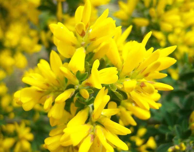Сytisus racemosus / ракитник кетягоподібний