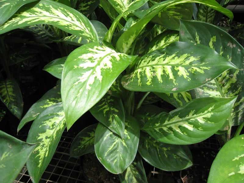 Dieffenbachia maculata (picta) / дифенбахія плямиста