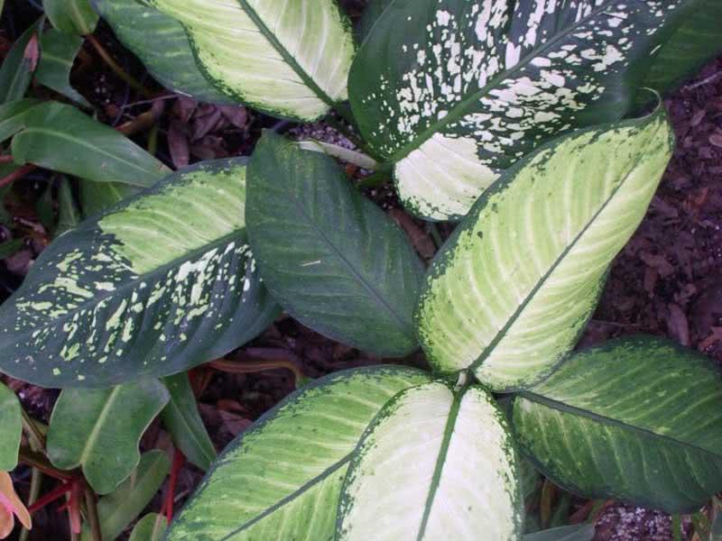 Dieffenbachia picta (maculata) / дифенбахія плямиста