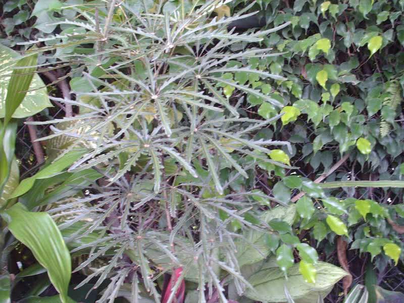 Dizygotheca elegantissima / дізіготека елегантна