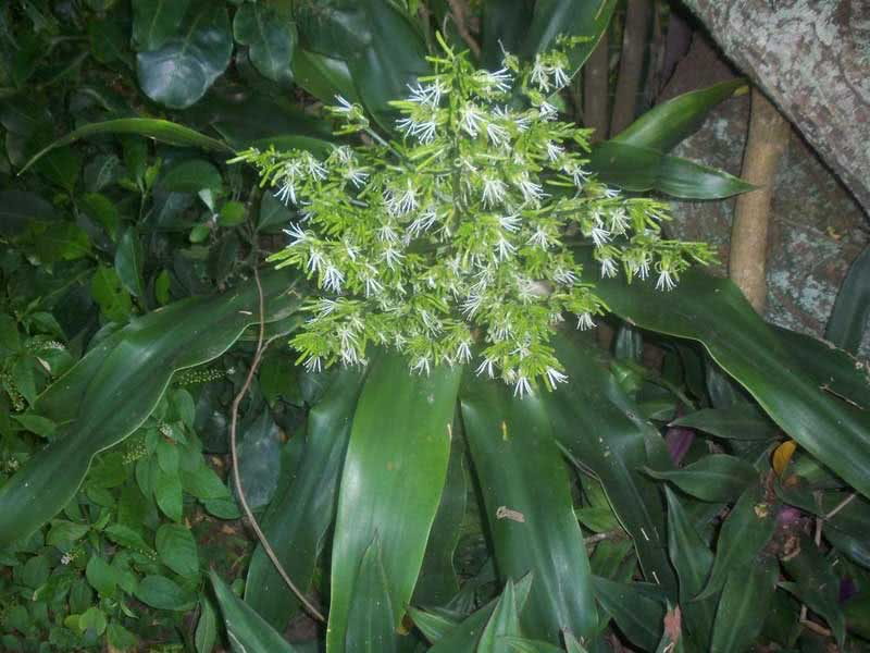 Dracaena aletriformis (rumphii or hookeriana) / драцена великоквіткова (Румфа або Гукера)