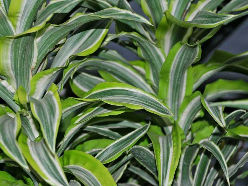 Dracaena deremensis (fragrans) / драцена деремська (деременська або духмяна)