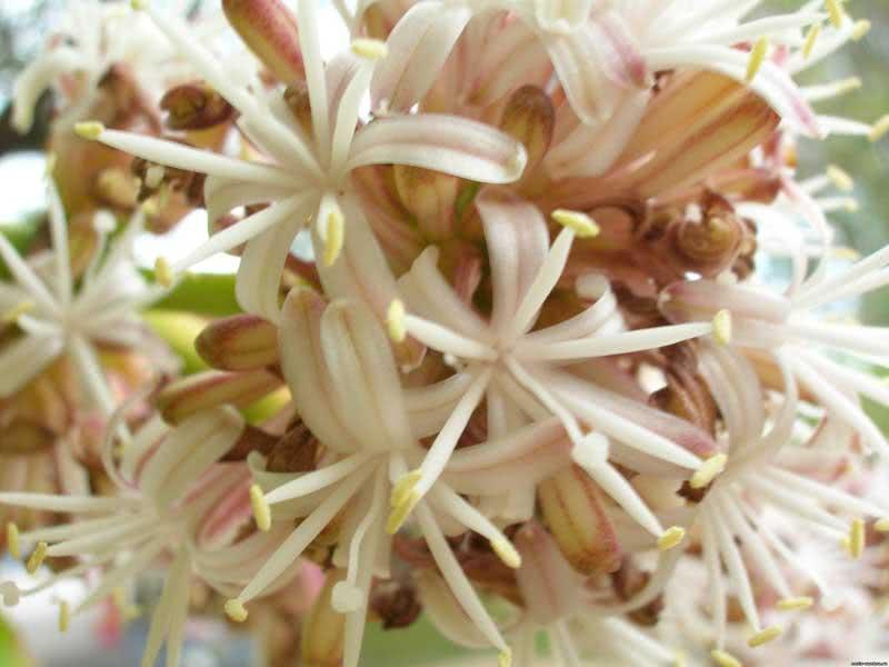 Dracaena fragrans / драцена духмяна (деременська або деремська)